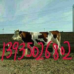 绿牧常年出售大小品种肉牛(西门塔尔,夏洛莱,利木赞,安格...