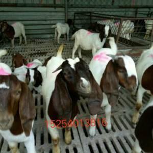 大量供应肉牛。15254013816