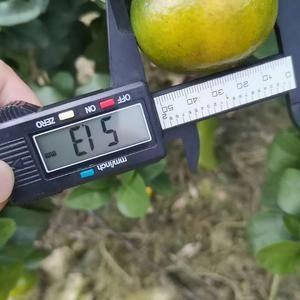 金秋沙糖桔,10月底11月初成熟,今年试挂果,约有300...