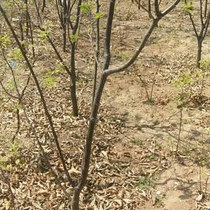 出售各种规格板栗树有需要的抓紧联系13472936636