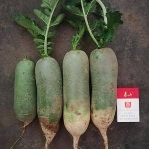 山东济南平阴里外青萝卜,青萝卜大量上市,质量好,条形直,...