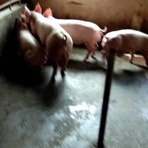 出售杜洛种猪母猪全国包邮