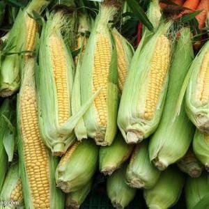 陕西太白十万绿色无公害蔬菜基地,甜玉米大量上市,地头新鲜...