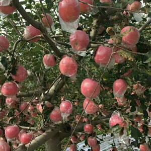 陕西大荔红富士苹果上市了,货量足,欢迎咨询合作。张小虎1...