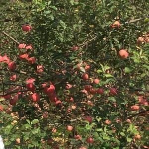 供应河北邢台路罗自家种的红富士苹果 价格从优 电话:15...