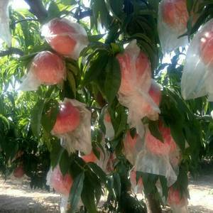 品种:早霞露毛桃,接上上市的有杠八毛桃,超沙红桃,超红圣...