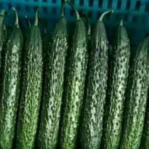 好消息!山东聊城莘县大量供应优质黄瓜,蜜刺、油量、大中小...