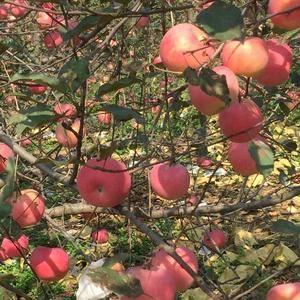 河北邢台大量批发供应新鲜红富士苹果,价格便宜,联系电话:...