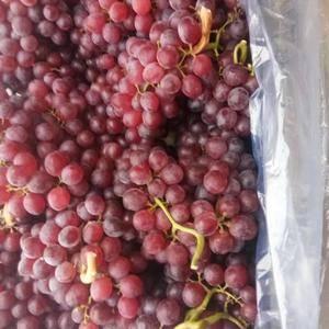 山东烟台龙口克伦生葡萄和红宝石葡萄大量出库。沙土地种植,...