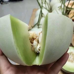 山东聊城莘县河店镇大量上市,各种香瓜甜瓜,品种多口感好。...