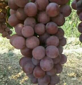 陕西红提葡萄  红提供应基地  红提葡萄价格