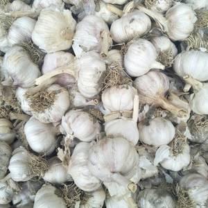 斑鸠店蒜黄蒜.蒜米料