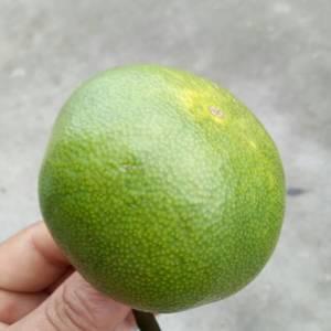特早熟柑橘,规格50起步,直接与果农面议价格,8毛到1....
