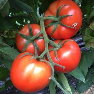 大红西红柿大量上市.一五零六三九二二九八八