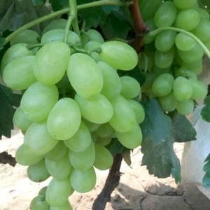 我地5000亩维多利亚葡萄现以上市,品种有维多利亚葡萄为...