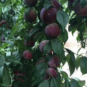 水果产品有;大棚樱桃,大棚杏,大棚油桃,哈密瓜,陆地樱桃...