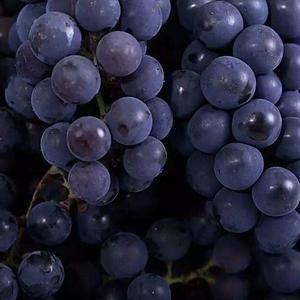 河北柏乡葡萄基地葡萄上市了,品种有巨峰、红无核、乒乓球、...