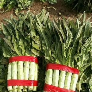 山东沂南红叶莴苣,芹菜大量上市,黄瓜,白菜,有机花少量可...