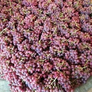 陕西大荔县高明镇红提葡萄大量上市,需要联系