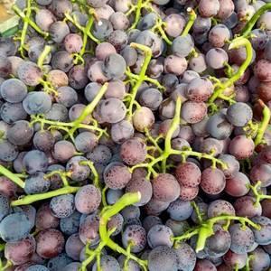 藤稔葡萄大量上市中价格今天3.5到4块钱有需要的客商速联...