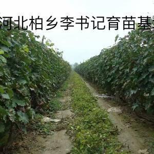 多年生葡萄树、葡萄苗出售! 13932900494 李...