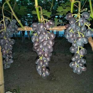自产玫瑰香葡萄,日可出货三千斤。价格可议。电话17761...