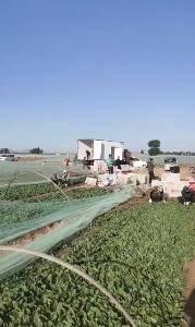 精品菠菜每天5万斤供应物流打包方便