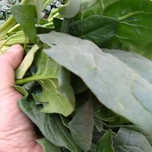 菠菜,菠菜,菠菜,需要的老板联系了13849511103