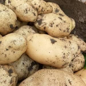 沙土地土豆上市了有求购的联系我吧