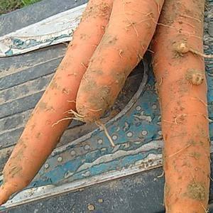 胡萝卜上市中,需要的老板联系