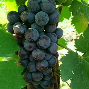 大量露天维多利亚葡萄现已陆续上市,需要的客商联系鲍136...