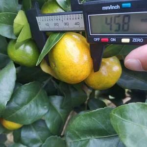 金秋沙糖桔,10月底11初成熟,全有机肥种植,第一年挂果...