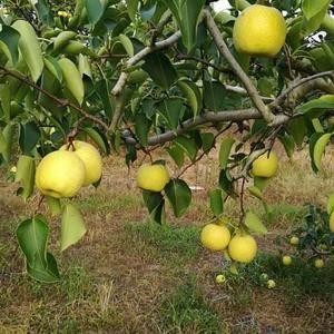 砀山县酥梨大量上市中,本地酥梨个大皮薄甜度高,我部各种包...