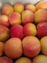 潍坊寒亭大量供应膜袋嘎啦苹果价格合理欢迎光临。