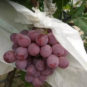 我处户太八号,夏黑葡萄,红提葡萄大量上市了,有需要的客户...