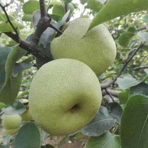 品质源于正宗,安徽砀山酥梨源产地开始大量上市了,专业代收...