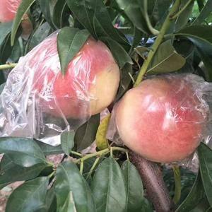 陕西大荔大量供应秦王,超越,富岛毛桃等几十个品种。所产的...