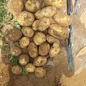 土豆大量上市中