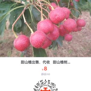 甜红子山楂代收,代存,代销,甜红子山楂树苗出售