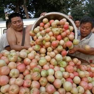 商丘雎阳区西红柿大量上市,4毛5左右一斤,周代办1593...