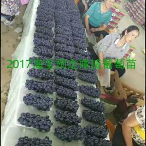 海宝葡萄苗木基地出售贝达嫁接葡萄苗  保证纯度98%以上...
