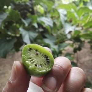 软枣猕猴桃,东北特产,小浆果,通体绿色,小巧迷人,口感清...