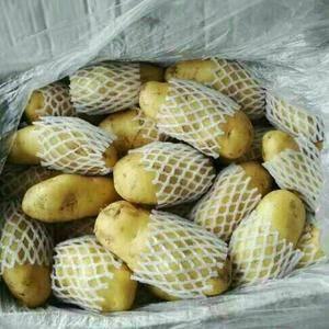 山东肥城库存土豆大量供应中,量大质优,规格齐全,货源充足...