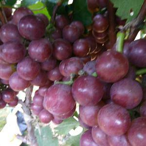 山东葡萄产区,现有巨峰葡萄大量上市,粒大果粉好,穗大,口...