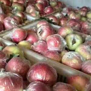 山东苹果大量上市现嘎啦,美八,红露,纸袋红星等以大量上市...