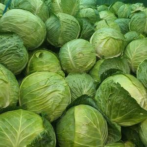 大皮球铁头包菜大量上市中,望广大加工厂采购前来选购
