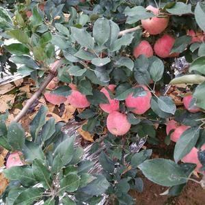 山东红将军苹果,红富士苹果产地直供!价格便宜,质量很好!...