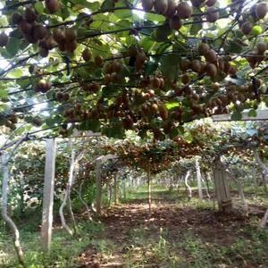 陕西眉县徐香猕猴桃,开始上市,本人长期大量为各批发商水果...