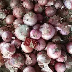 大量红皮洋葱80以上个头大颜色鲜艳