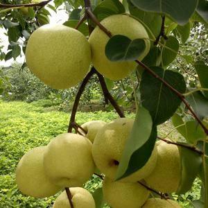 砀山三农果业,砀山酥梨驰名中外,被吉尼斯纪录认定为世界种...